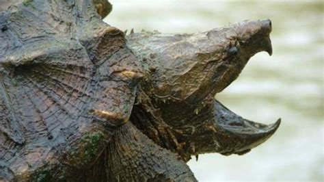 Alligator Snapping Turtle Split into Three Separate