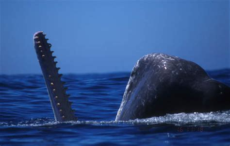 Sperm Whale: The Record-Holding Toothed Whale